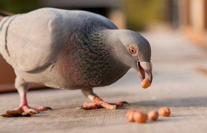 Can Pigeons Eat Peanuts? - PetSchoolClassroom