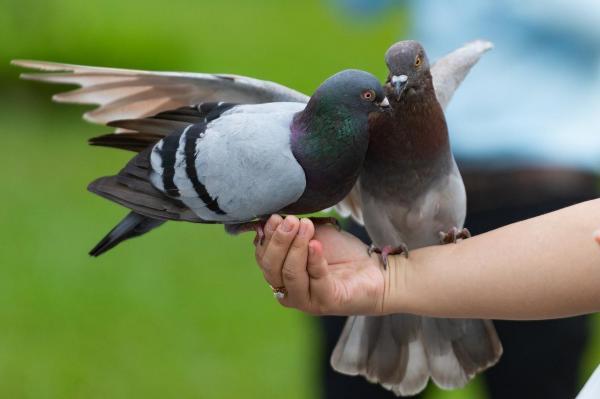 Can pigeons eat sesame seeds - PetSchoolClassroom