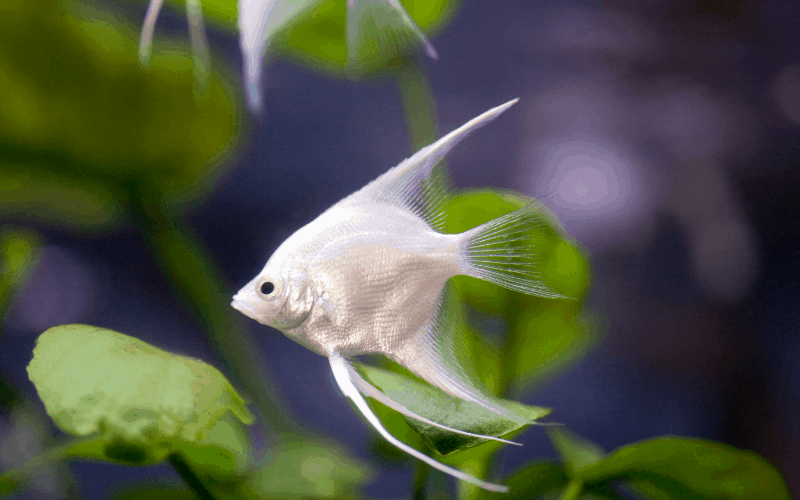 Do Angelfish Eat Plants? (With 8 Examples) – Pet Fish Online