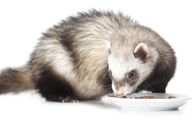 Guidance on How to Introduce Ferret to New Food | by Isaac Ince | Medium