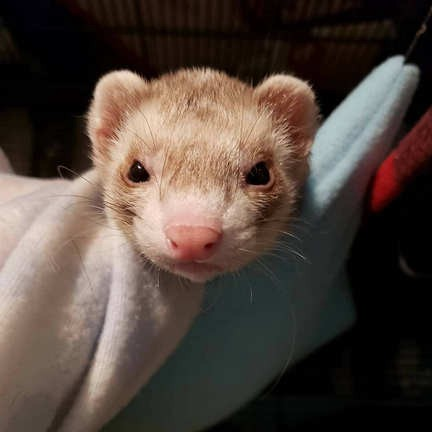 What Can Ferrets Eat — Ferret Food — Things You Should Know | by Sweet Ferret | Medium