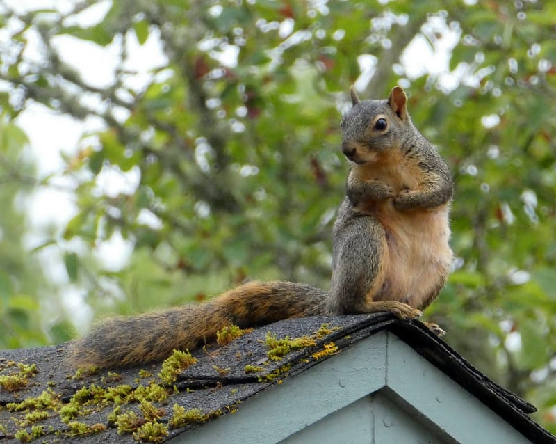 Can You Eat Squirrel: [Taste & Nutritional Facts] – Nature Questions