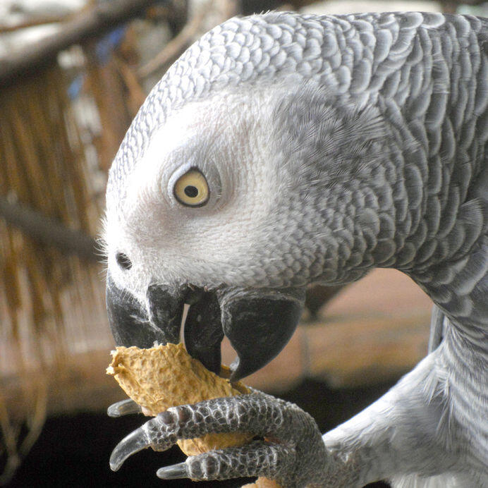 Blog : Can I give raw almonds to my African grey parrot? Is it safe, or a risk to his health? -