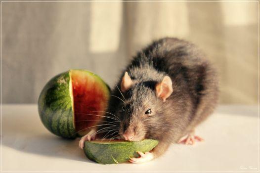 My own watermelon by Triumfa   Cute rats, Rats, Pet rats