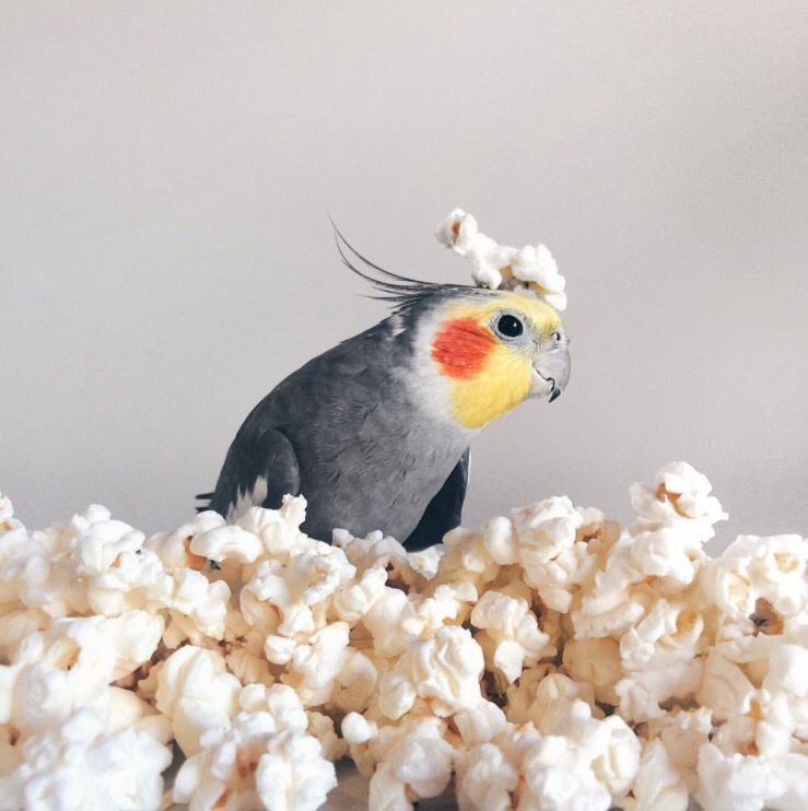Can Birds Eat Popcorn? | Best Guide For Bird Lovers