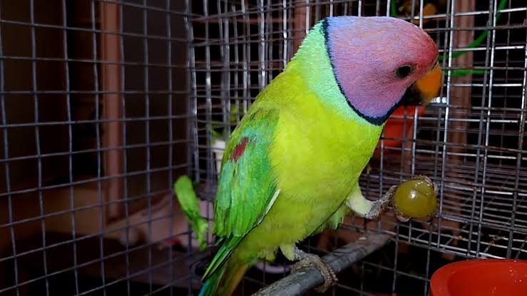 Can Parrots Eat Grapes? - petcarebase