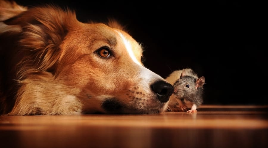 Help! My Dog Ate a Mouse! What Should I Do Now?