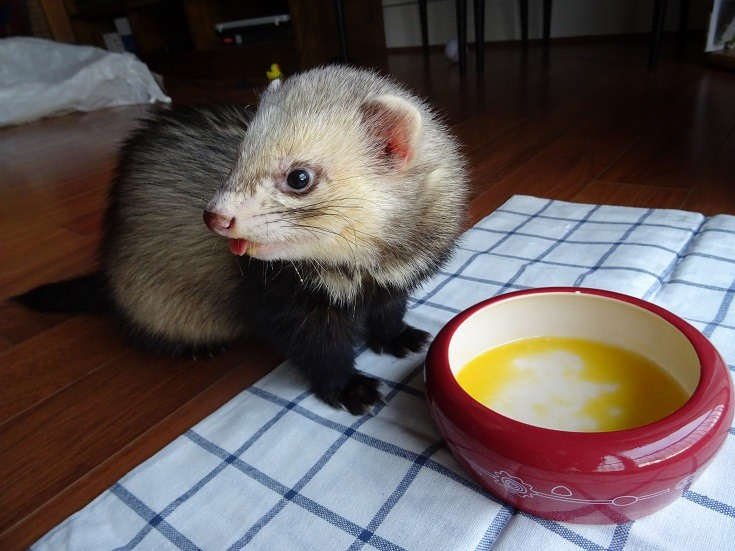 Can Ferrets Eat Eggs? What You Need to Know! | Pet Keen