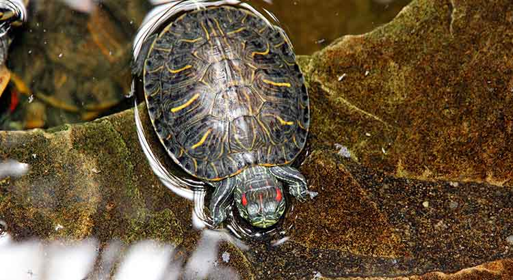 What Vegetables Can Red Eared Sliders Eat? (Including List) – TurtleOwner.com