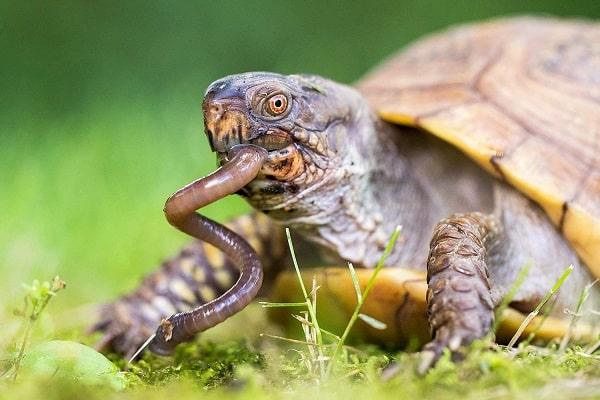 What Do Box Turtles Eat? Expert Diet & Feeding Guide  