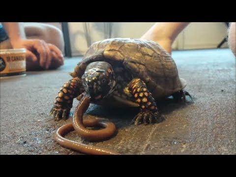 EPIC: Turtle VS Worm! Or Tortoise EATS live worm? Canadian Nightcrawler gets handled! HD | Turtle, Tortoise, Live worms
