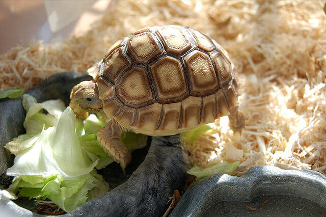 What Tortoises, Aquatic and Box Turtles Eat : Feeding & How Often