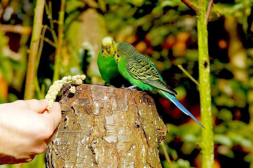 Can Parakeets Eat Popcorn? What You Should Know