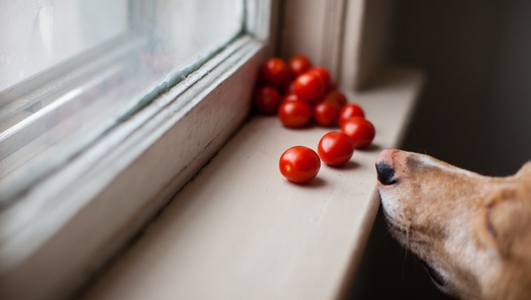 Can Dogs Eat Tomatoes? Are Tomatoes Safe For Dogs? - DogTime