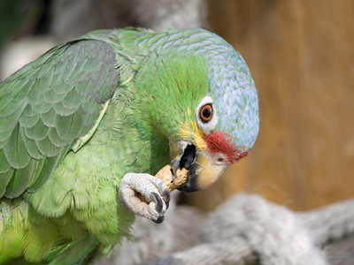 Can Parrots Eat Nuts? — All About Parrots
