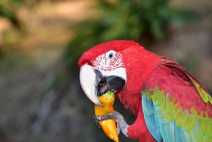 Can Parrots Eat Peppers? (Red, Green, Orange, Yellow)