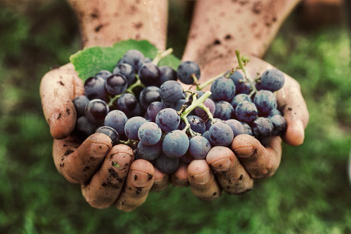 Can Birds Eat Grapes? - Vet Explains Pets