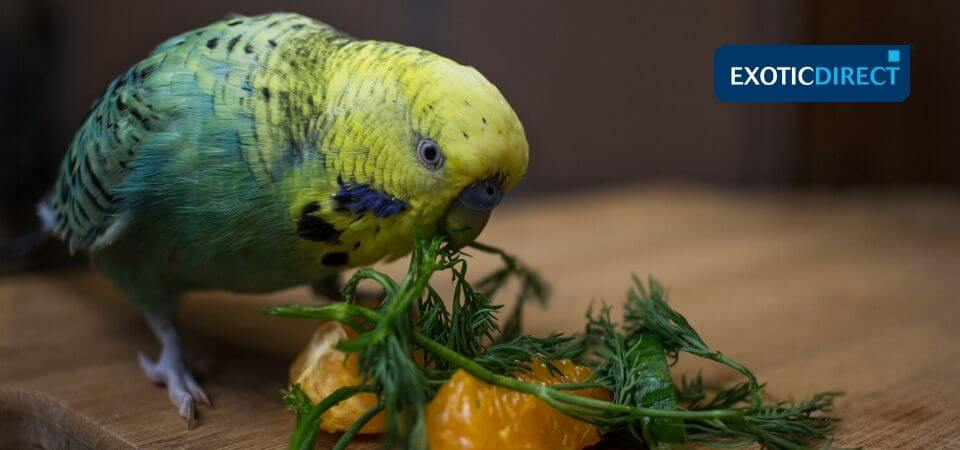 What can budgies eat? - ExoticDirect
