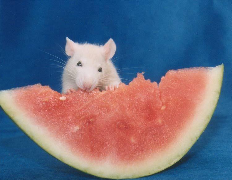 Animals Eating » A Cute A Day » Page 2 | Cute rats, Rats, Pet rats