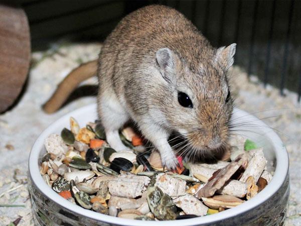 What do Gerbils Eat? Best Food for Pet Gerbil - VIVO Pets