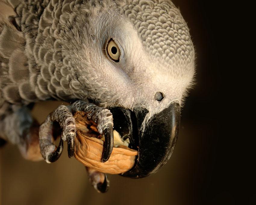 Parrot Nuts   Parrot Food   Parrots   Guide   Omlet UK