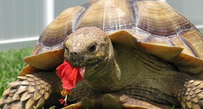 Can Sulcata Tortoise Eat Dried Hibiscus Flowers? | Pet Sulcata Tortoise