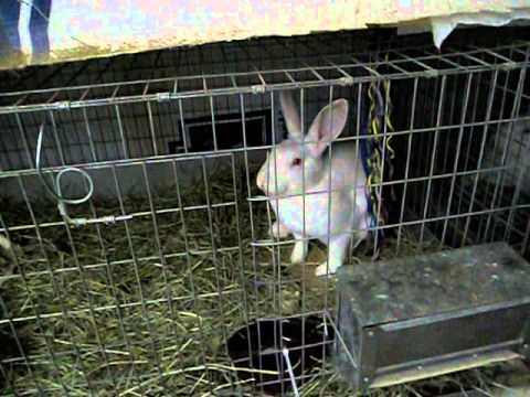 Raising Rabbits: Keeping them warm in the winter and haystaching - YouTube