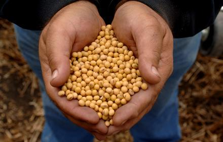 Feeding soybeans to poultry