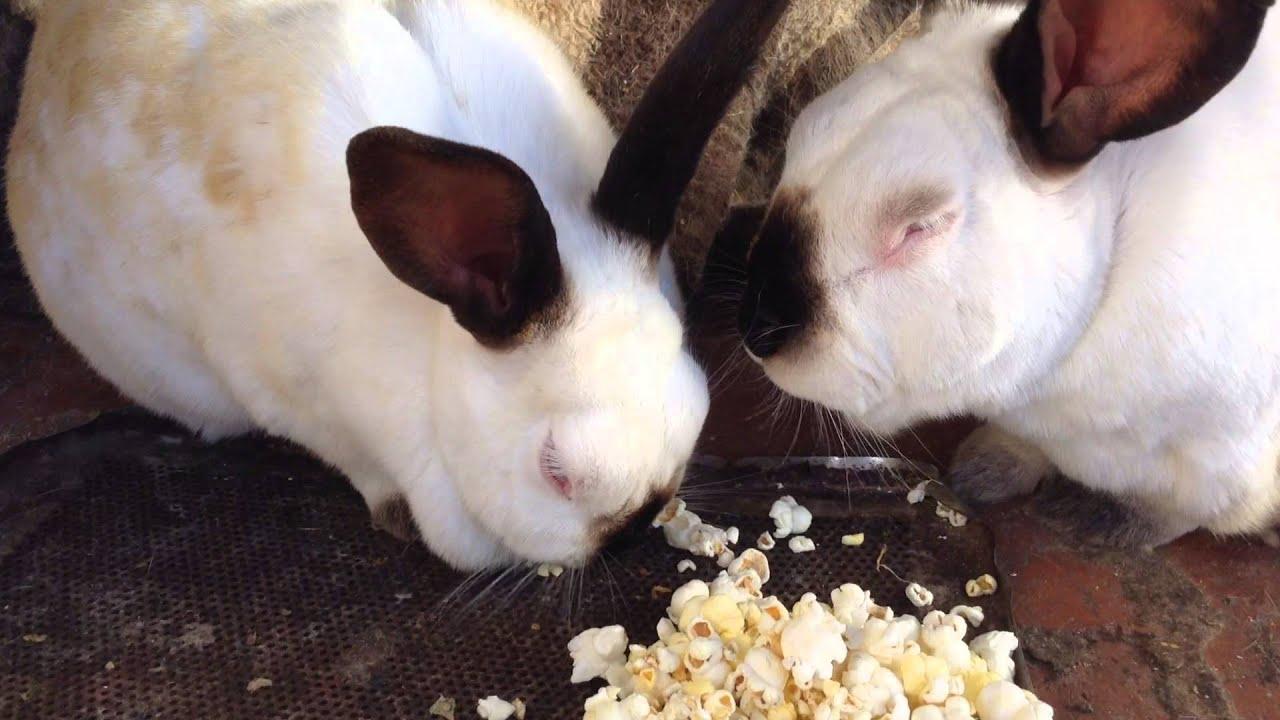 Rabbits eating popcorn! - YouTube