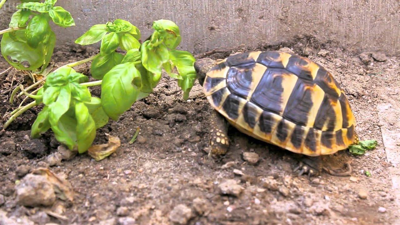 Tortoise trying some basil - YouTube