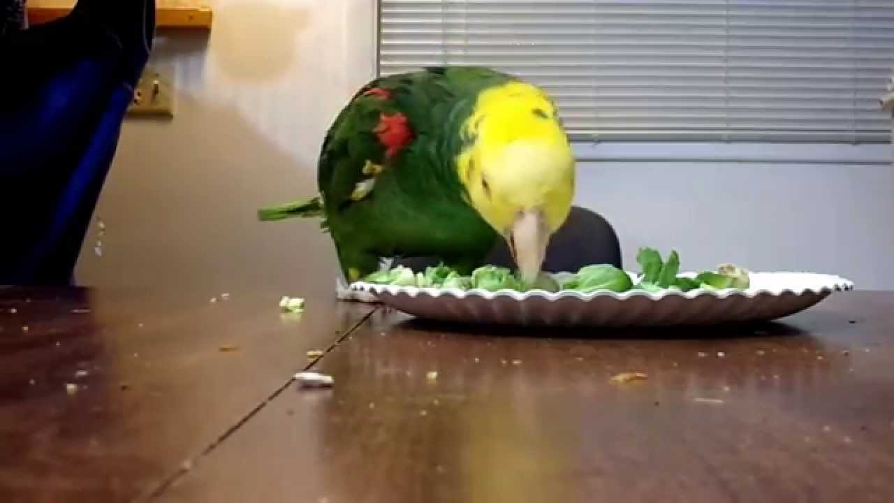 Amazon parrot eating brussels sprouts - YouTube