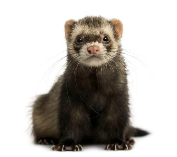 What do Ferrets Eat in the Wild?