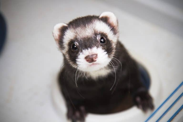 What Can Ferrets Eat and Not Eat? - List