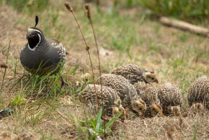 What Do Quails Eat? The Ultimate Quail Feed Guide - The Happy Chicken Coop