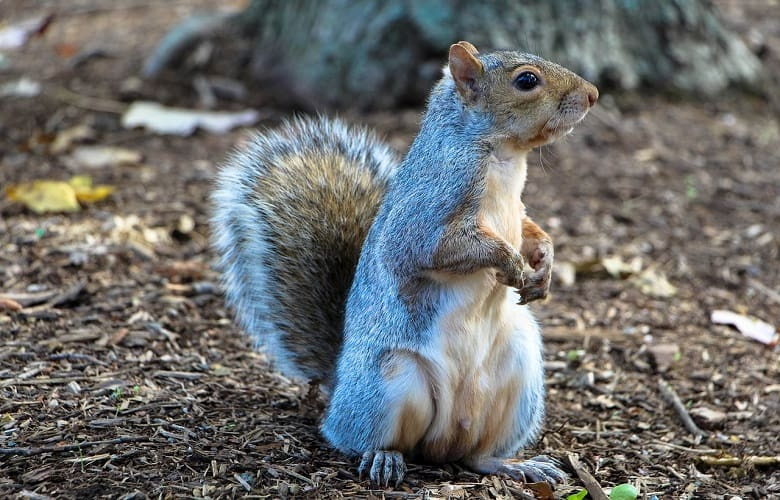 Can You Eat Squirrel from Your Backyard? - Smart Yard Guide