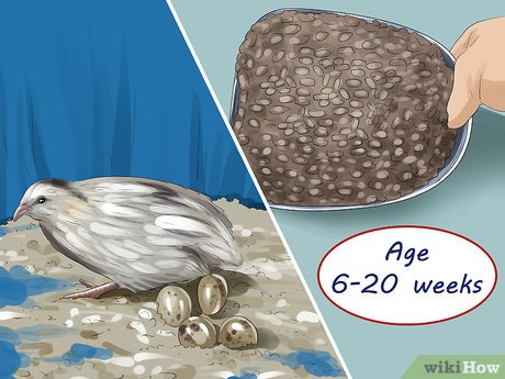 4 Ways to Feed Quail - wikiHow