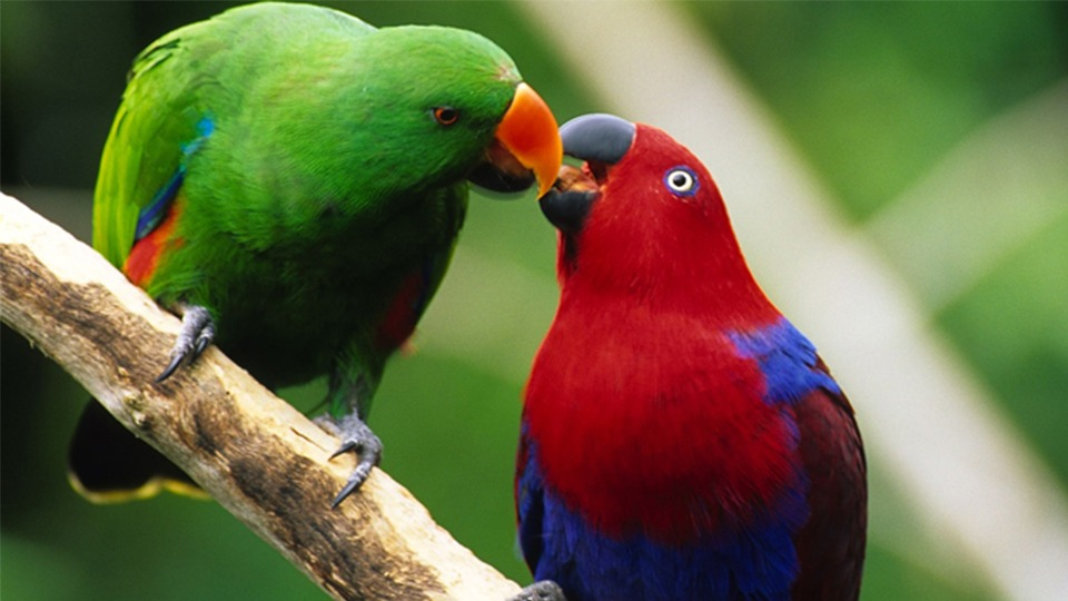 What do I feed my Eclectus Parrot? - Sugarloaf Animal Hospital