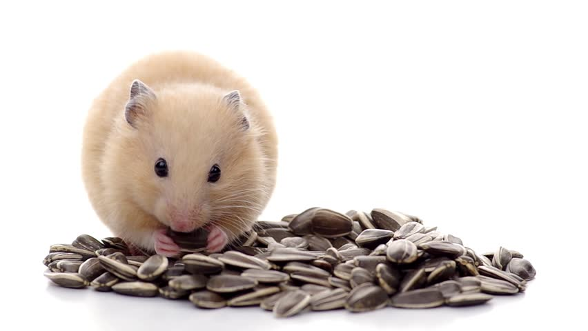 Can Hamsters Eat Sunflower Seeds? - Hamster Care Sheet & Guide - How to Care For Your Hamster