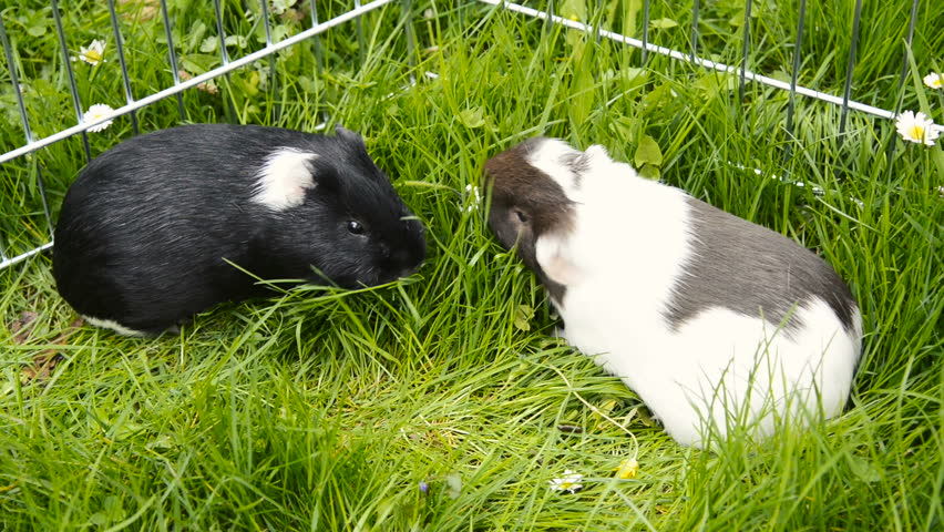 Guinea Pigs in the Grass Arkivvideomateriale (100 % royaltyfritt) 16131511   Shutterstock