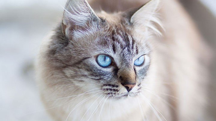 Deafness and blindness in cats | Pet advice | Medivet UK