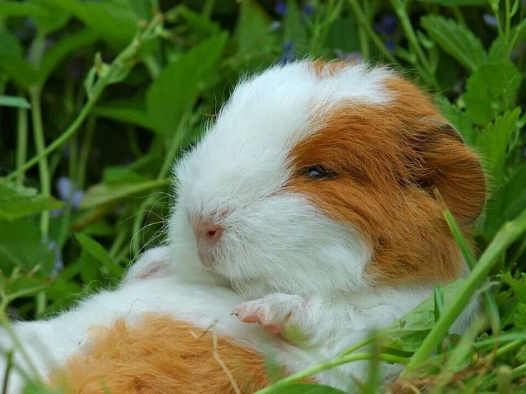 how much parsley can guinea pigs eat online -