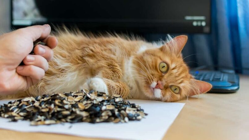 Can Cats Eat Sunflower Seeds The Facts Can Make You Wonder