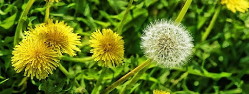 5 Easy to ID Rabbit Safe Weeds