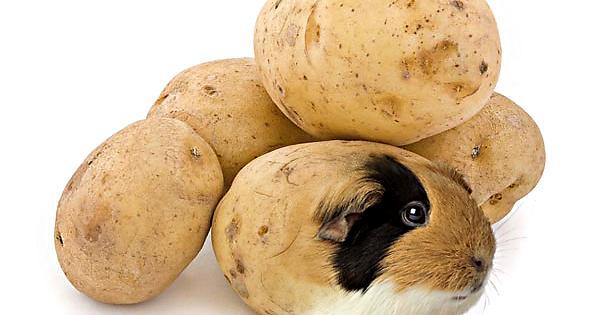 guinea pigs are fluffy potatoes - PROOF! - Album on Imgur