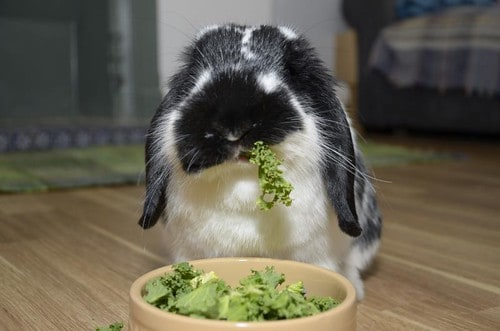 Can Rabbits Eat Kale? Your questions answered. - Bunny Horde