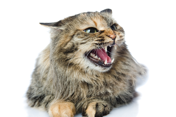 All About Cat Hissing — Why Do Cats Hiss? - Catster