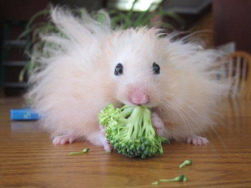 Can hamsters eat cucumber ?