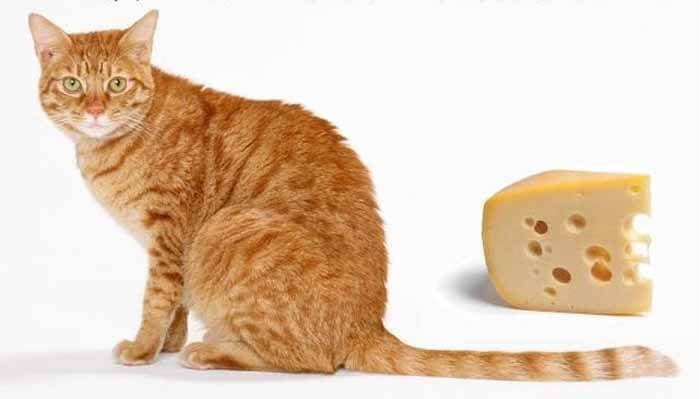 Can Cats Eat Cheese? Is it safe or not | ThePetAdvice
