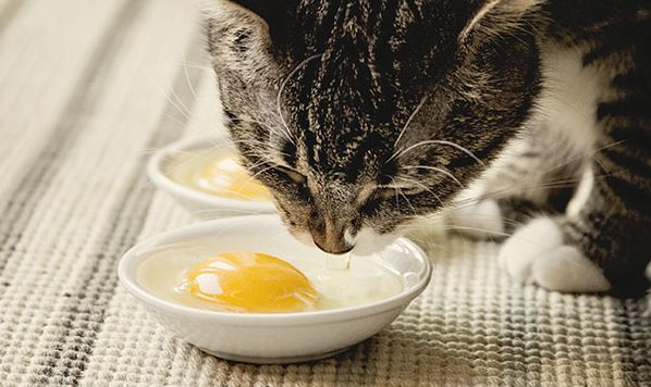 Can Cats Eat Scrambled Eggs - Smart Cat Lady- A Cat Lover's Website