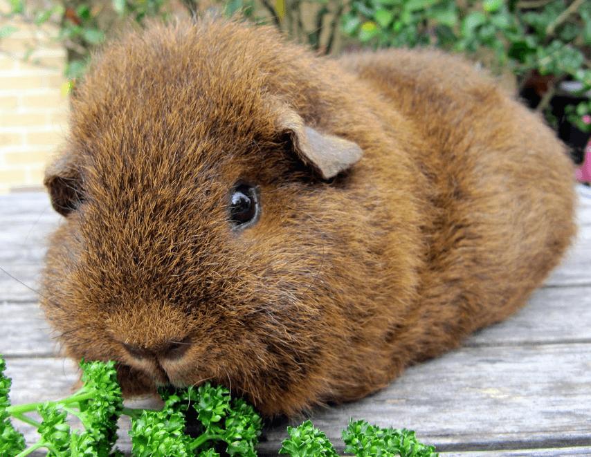 Can Guinea Pigs Eat Broccoli And Cauliflower psteinbauer.files.wordpress.com - Cabrito